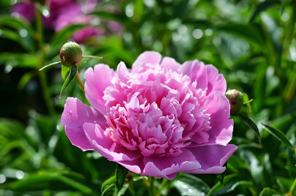 сегодняшний фото пионы розовые в росе использование