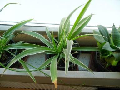 Zielistka Sternberga 'Variegatum' Chlorophytum comosum 'Variegatum'