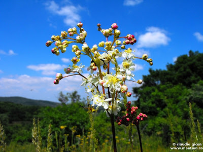 aglică (Filipendula vulgaris)