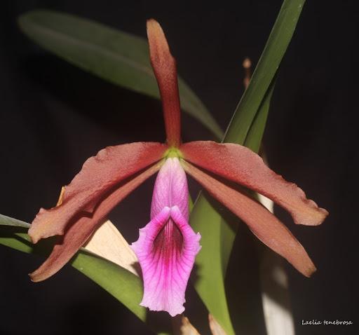 Cattleya tenebrosa (ex. Laelia) IMG_1352b%2520%2528Medium%2529