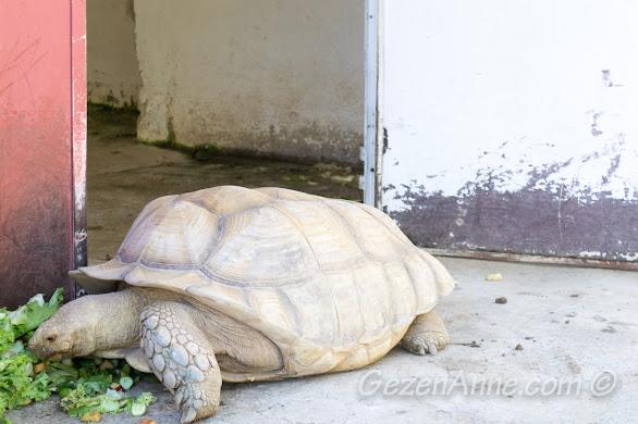 Darıca Hayvanat Bahçesi'nde, dev kaplumbağalar