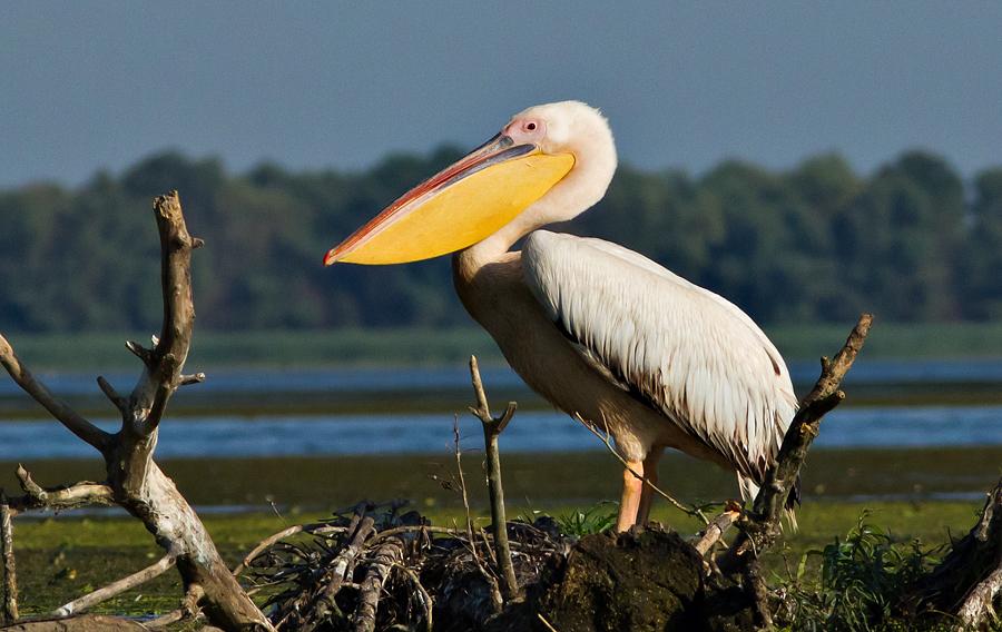 pasari birdwatching Delta Dunarii Fortuna caiac
