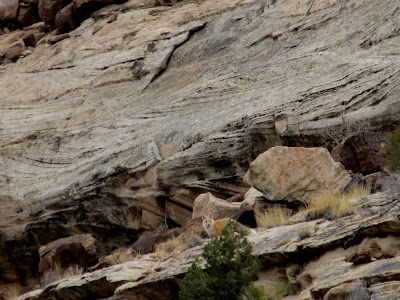 Fox in the second canyon