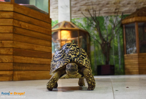 Tuchlino Park Egzotycznych Zwierzaków - szybkobiegający żółw