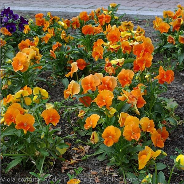 Viola cornuta 'Rocky F1 Orange' - Fiołek rogaty pokrój