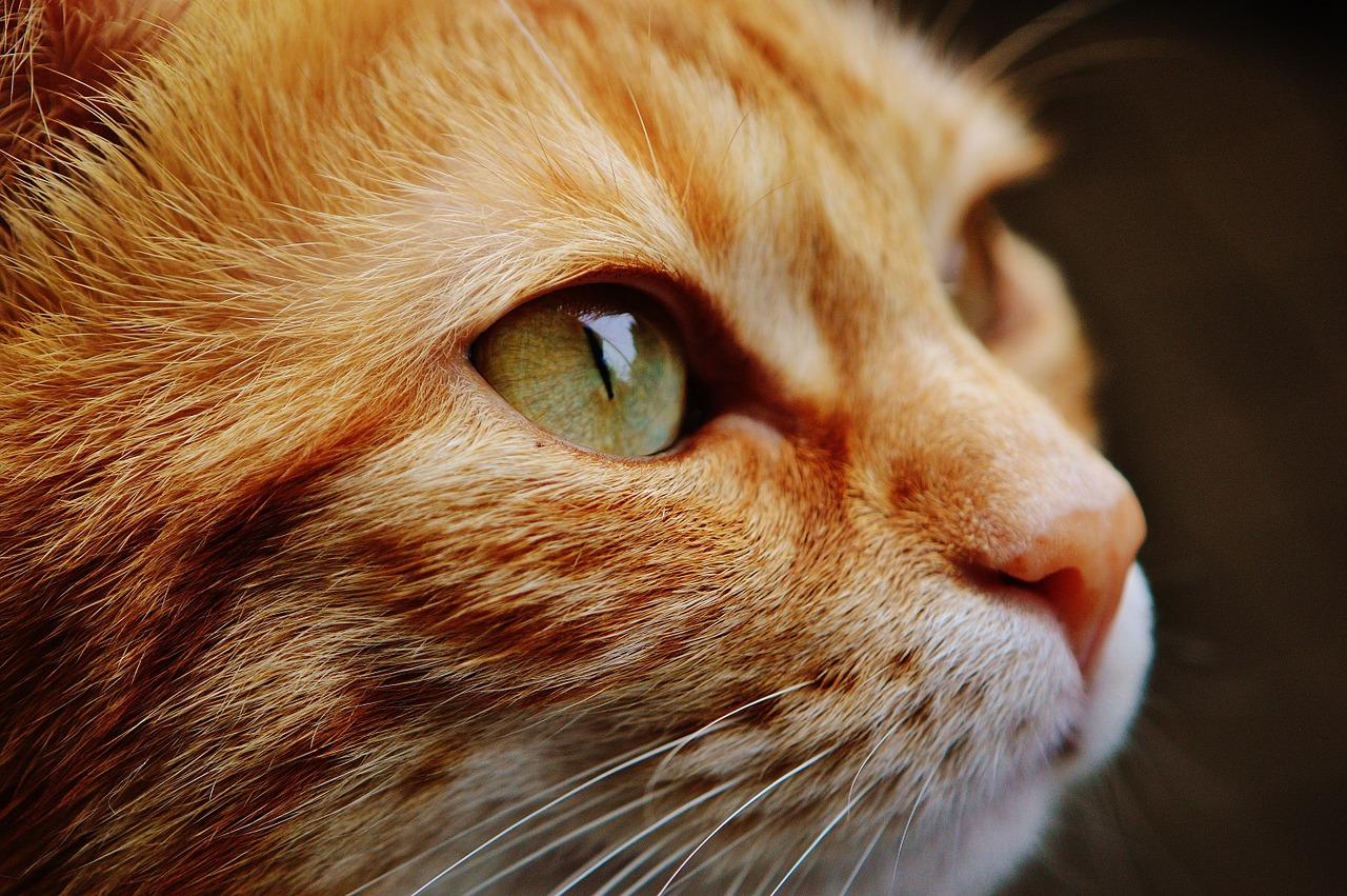 Closeup de um gato - foco no olho