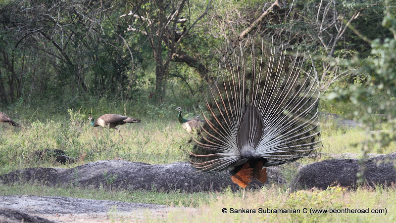 Peacock Mating Dance at Yala National Park - 2
