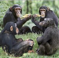 ομάδα πιθήκων,πιθηκάνθρωποι,group of apes,ape humans