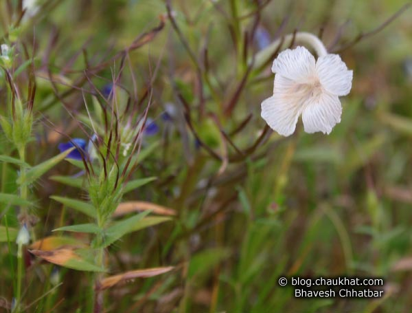 Unknown small white flower at Kas Plateau
