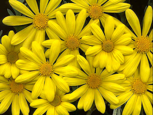 Camomile_flower_desktop.jpg