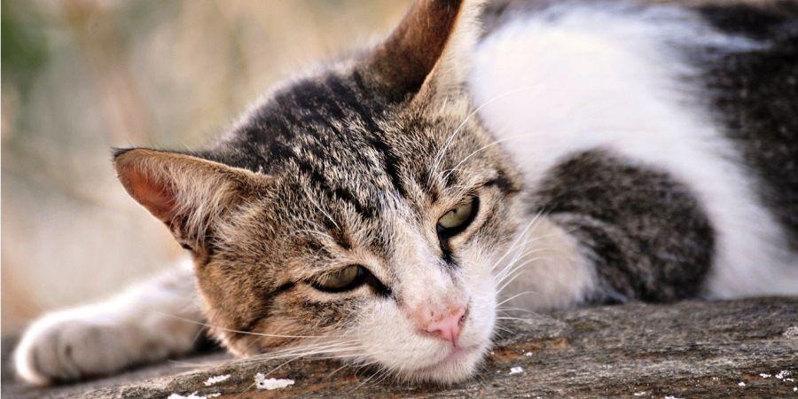 peritonot-cat.jpg