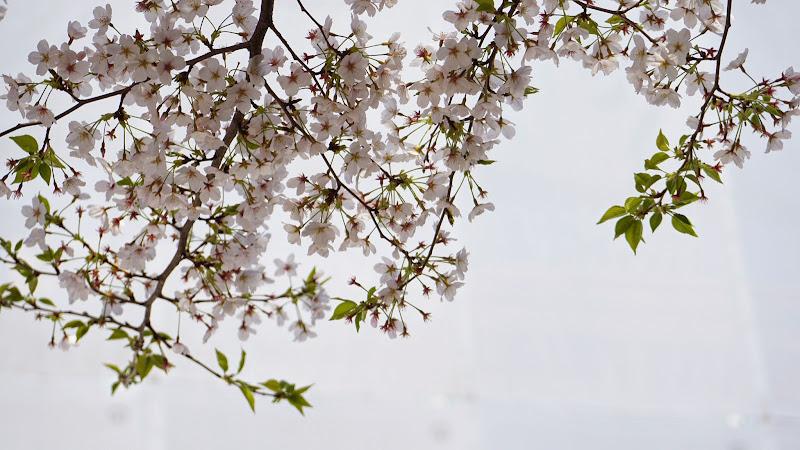 千鳥ヶ淵 桜 写真18