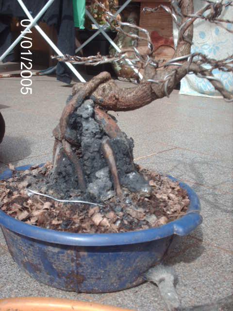 Ficus Nerifolia, Uma raiz de 3 anos... PICT1058