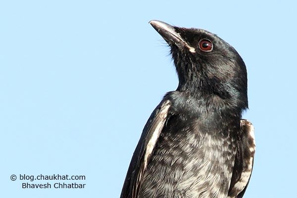 Juvenile Black Drongo [Dicrurus macrocercus] - Half body
