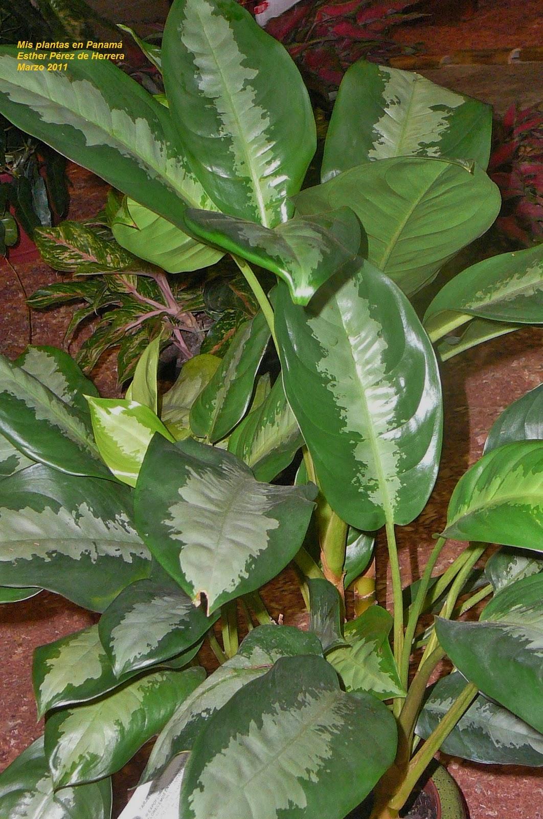 Mis plantas en panam aglaonema for Raices ornamentales