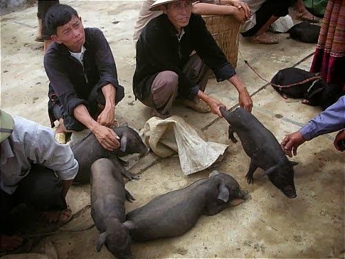 """32 Đặc sản lợn """"cắp nách"""" Mộc Châu"""