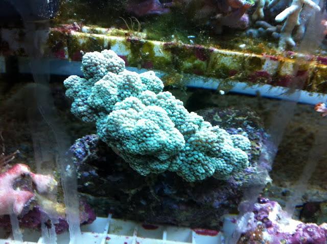 Capnella imbricata (Green Kenya Tree Coral) IMG_0660