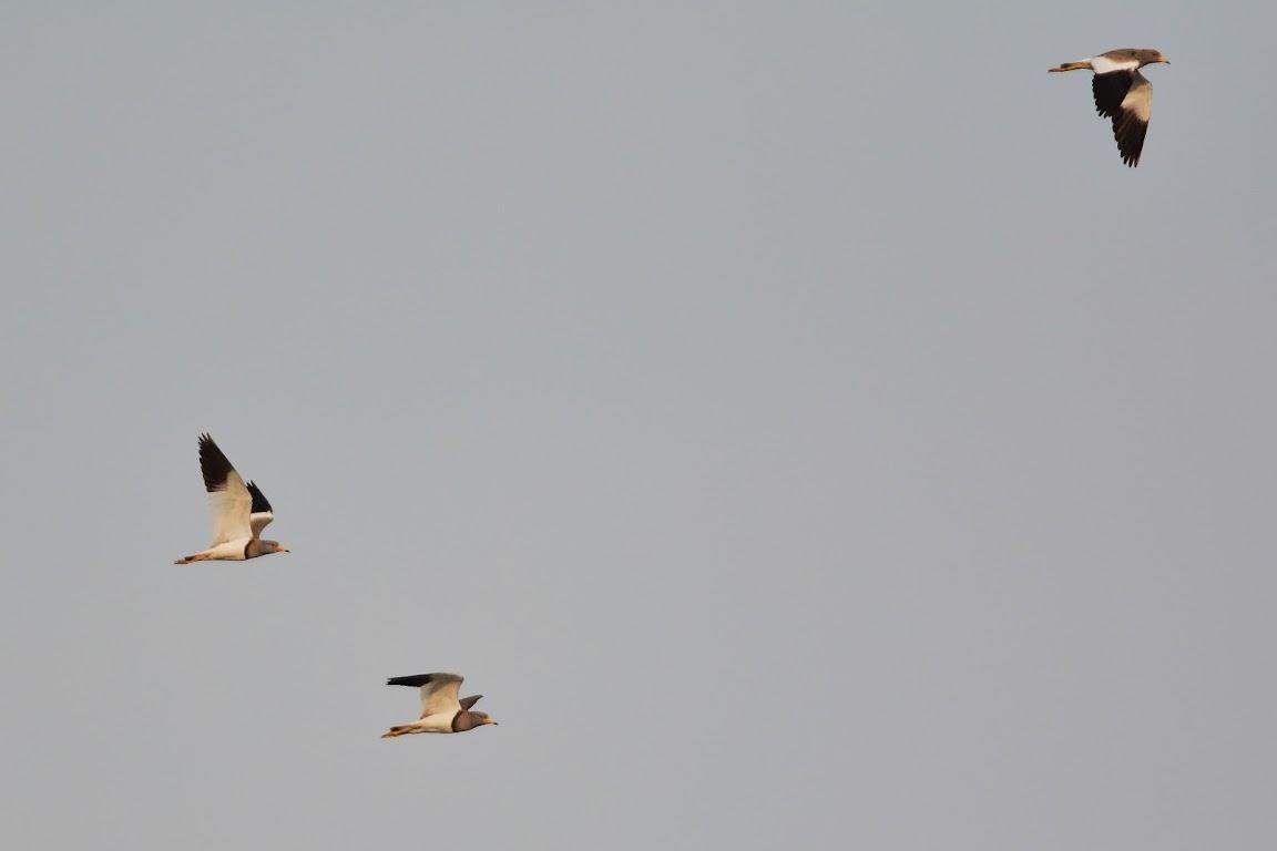 貢寮 - 白頭鶴