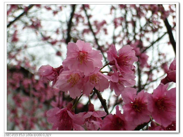 新竹青少年館櫻花