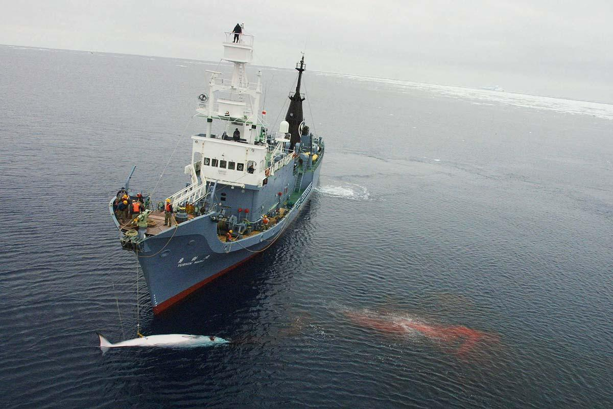 japanese whaling Japan is a signatory to the international whaling commission moratorium on hunting, but exploits a loophole that allows whales to be killed for scientific research japanese whaling vessels .