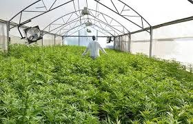 cultivo indoor passo a passo