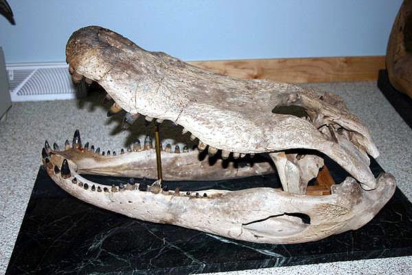 Questões e Fatos sobre Crocodilianos gigantes: Transferência de debate da comunidade Conflitos Selvagens.  - Página 3 Melanosuchus