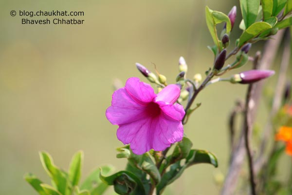 Morning Glory flower on way to Kas plateau
