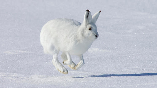 Hopping Arctic Hare, Banks Island, Canada.jpg