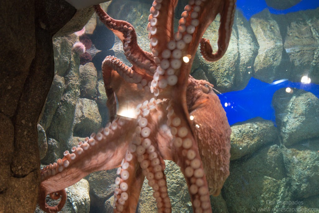A giant octopus