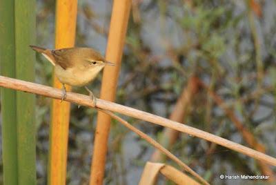 04-Dec-2011 Blyth's Reed Warbler Pic: Harish Mahendrakar