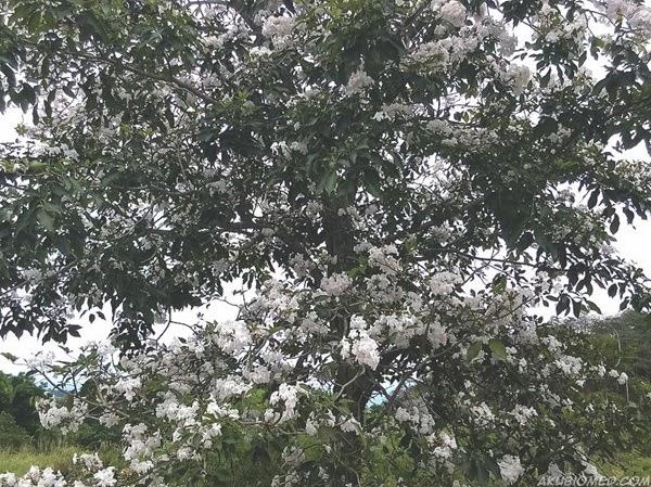 Tabebuia pentaphylla putih