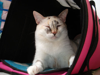 Gata Lili descansa na caixa de transporte rosa