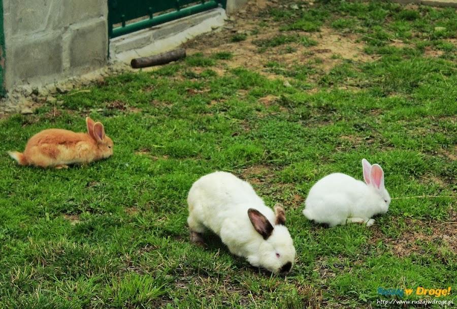 Pałac w Kurozwękach mini zoo - króliczki