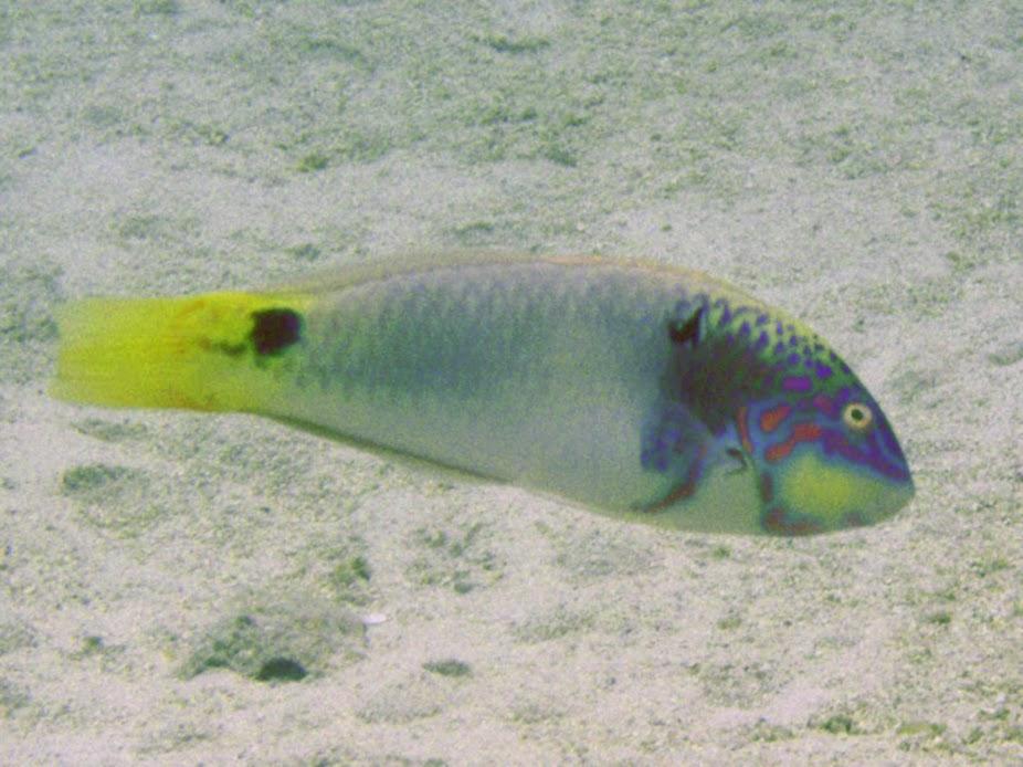 Halichoeres trimaculatus (Threespot Wrasse), Aitutaki.