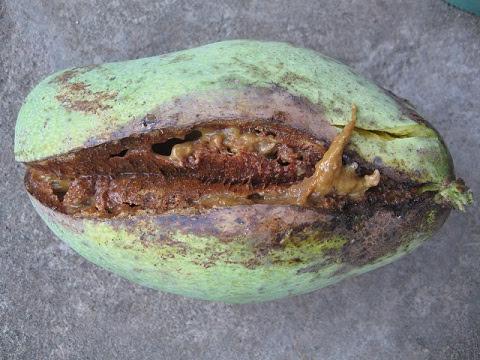 Image result for mangga busuk
