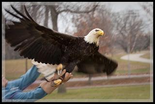 , Eagles,vulturi, startachim blog, startachim blog