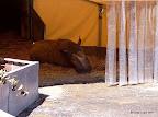 Nashornbulle Tsavo - ehemals vom Circus Barum