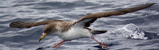Esses magnificos Cetacios -  Cachalotes - Golfinhos etc IMG_3448a