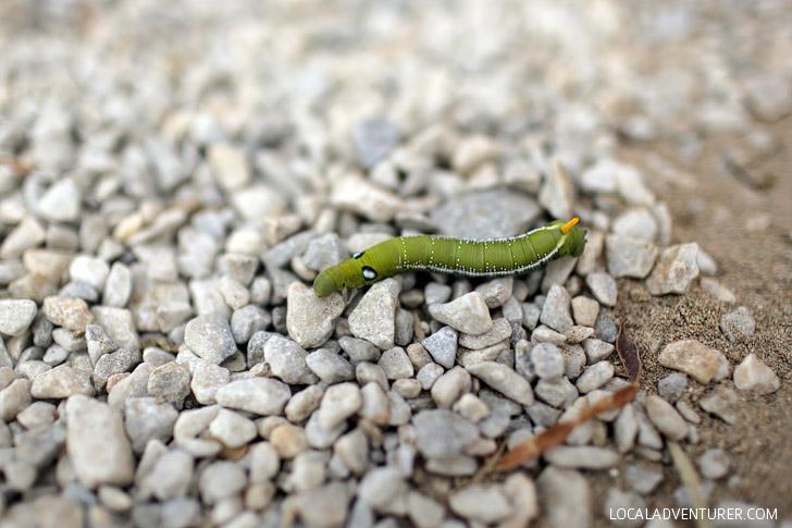 Caterpillar in Mykonos Greece.