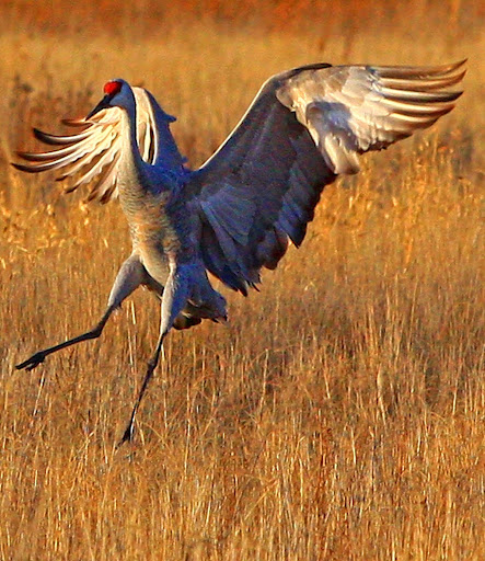 A sandhill crane touches down at Bosque del Apache National Wildlife Refuge in New Mexico