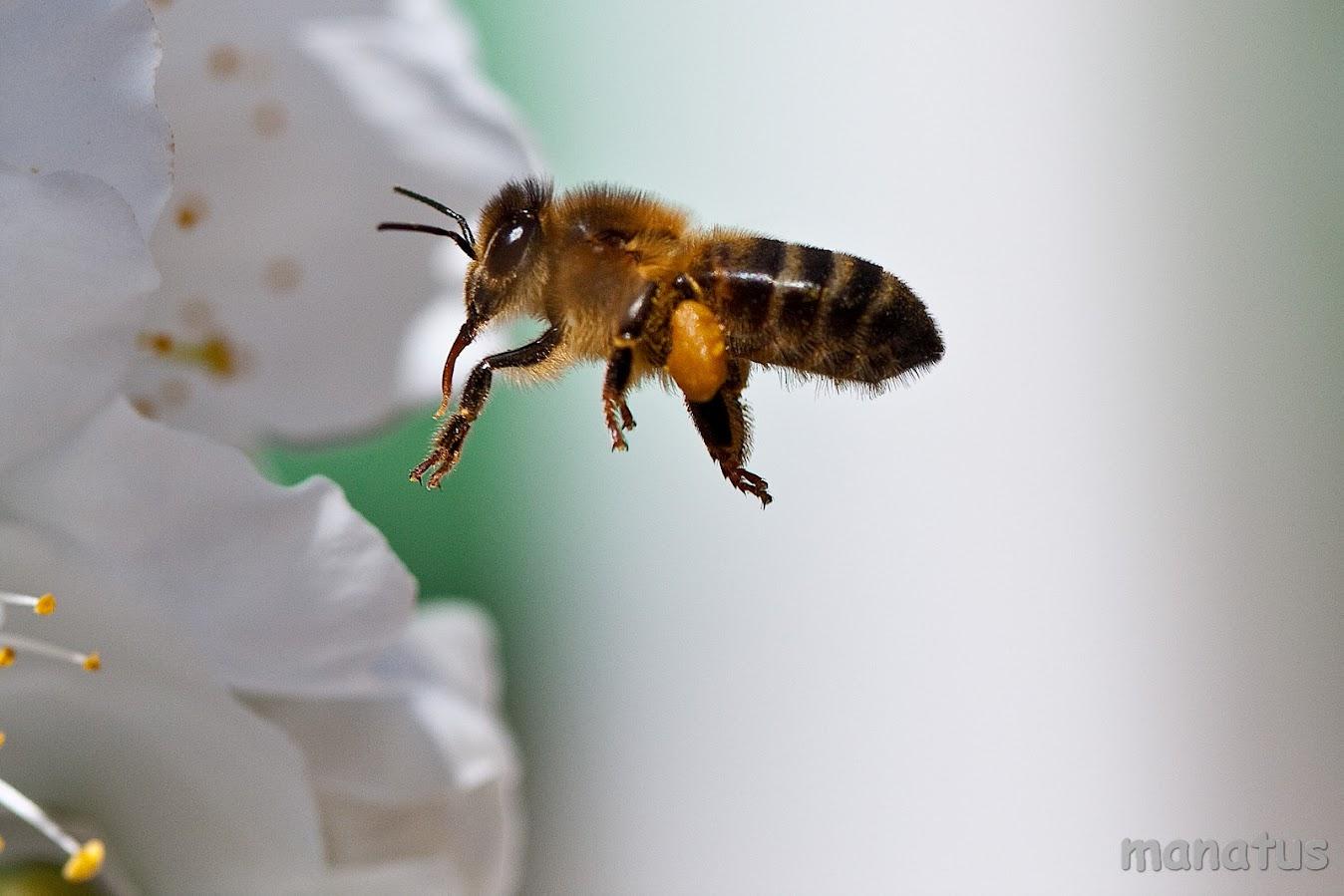 manatus abeja volando