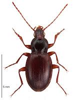 Oopterus helmsi. Photo: BE Rhode. Citation: Larochelle A, Larivière M-C, Rhode BE 2004-2011. Checklist of New Zealand ground-beetles (Coleoptera: Carabidae) - Image gallery. The New Zealand Carabidae, NZC 01.