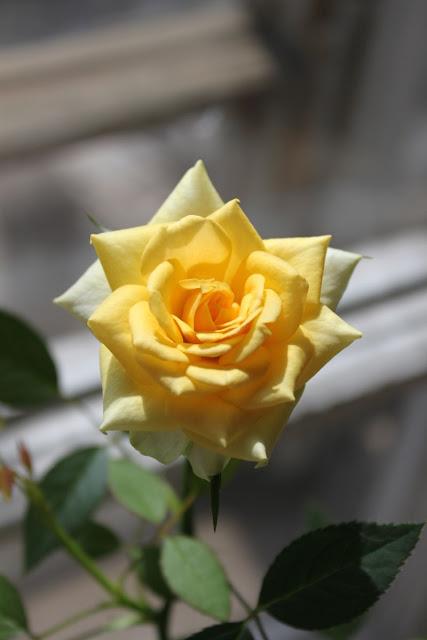 Розы в комнатной культуре - Страница 5 Img4717q