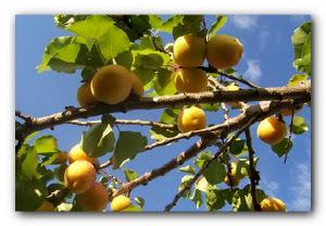 абрикос в саду