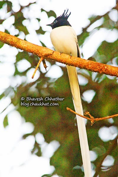 Adult male Asian Paradise Flycatcher with its long tail