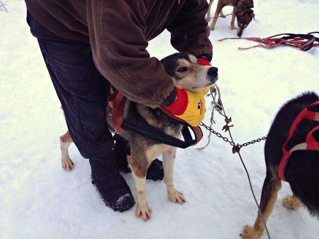 Dario Martinez, Girdwood, Alaska. Harnessing up the dogs to go sledding.