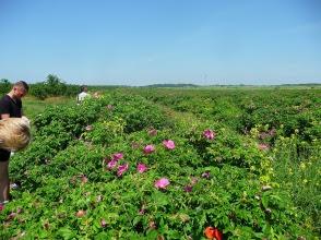 Róża pomarszczona uprawa ekologiczna Rosa rugosa