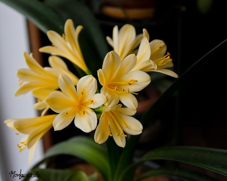 Clivia solomone Light Yellow Strain Clivia-light-yellow-strain-120414_0016rm