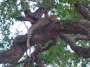 And this was our first up-close sighting of a leopard! And it was awesome and worth the wait... beautiful creatures!