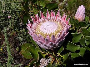 Protea at Bergriviersnek